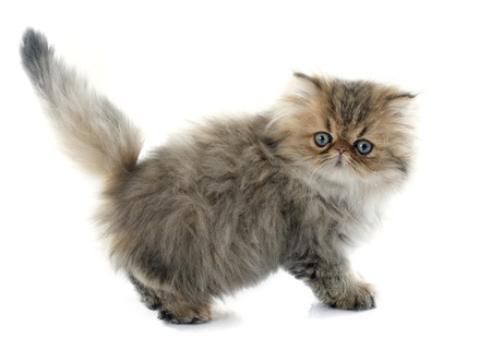 fluffy: persian kitten in front of white background