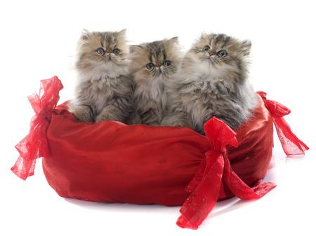 capelli lunghi: gattino persiano davanti a sfondo bianco