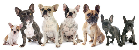 french bulldog: portrait of purebred french bulldogs in front of white background