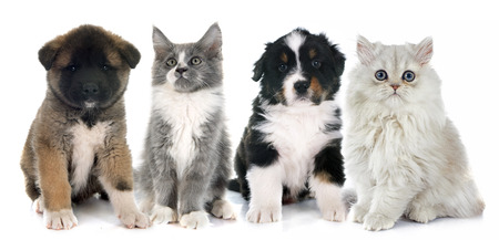 kitten: puppies and kitten  in front of white background