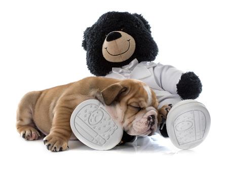 bulldog: cachorros bulldog y el juguete delante de fondo blanco