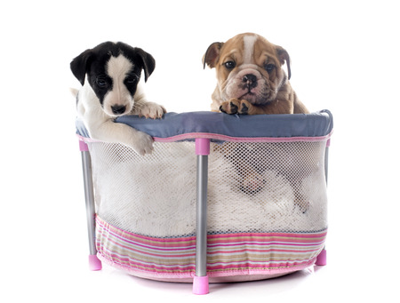playpen: puppies in pen in front of white background