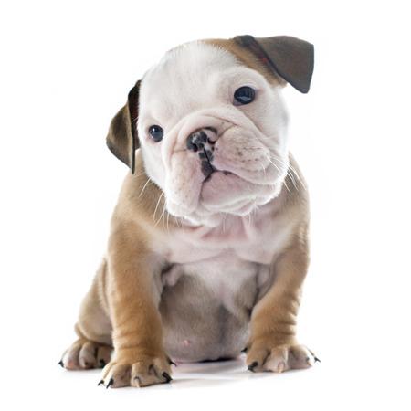 perrito: Inglés bulldog cachorro delante de fondo blanco Foto de archivo