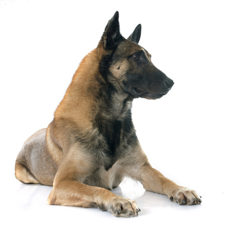 guar: belgian shepherd dog in front of white background