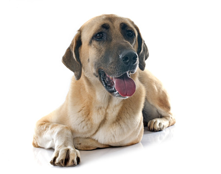 kangal: Anatolian Shepherd dog in front of white background