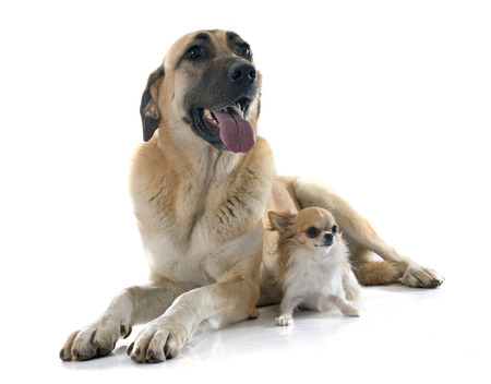 kangal: Anatolian Shepherd dog and chihuahua in front of white background