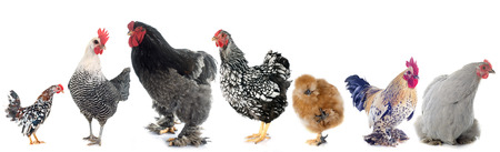group of chicken in front of white background
