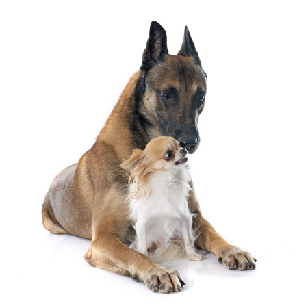 guar: belgian shepherd dog and chihuahua in front of white background