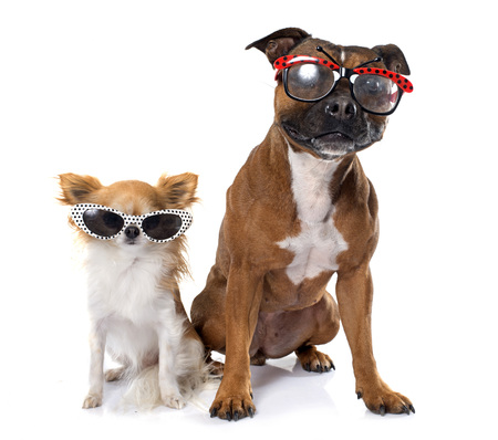 sunglasses: stafforshire bull terrierand chihuahua  in front of white background Stock Photo