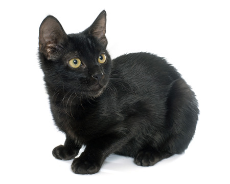 white cats: young black kitten in front of white background