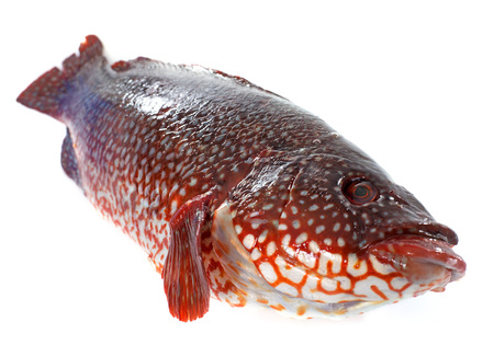 wrasse: Ballan wrasse in front of white background Stock Photo