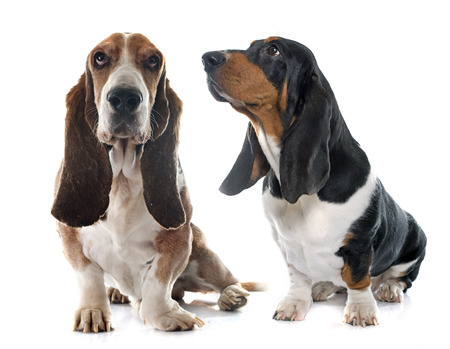 hounds: Basset Hounds in front of white background