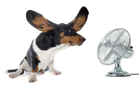 electric fan: Basset Hound in front of white background