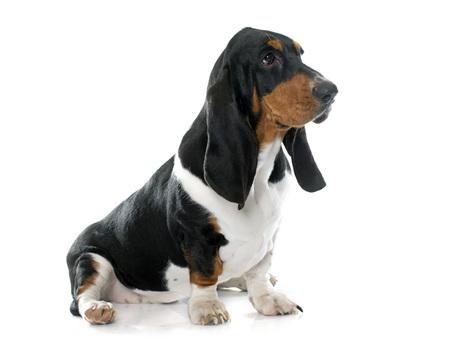 basset hound: Basset Hound in front of white background