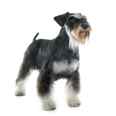 schnauzer: puppy miniature schnauzer in front of white background Stock Photo