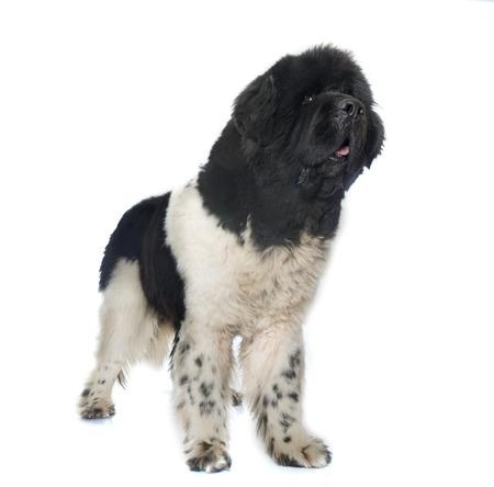 black and white newfoundland dog: adult newfoundland dog in front of white background