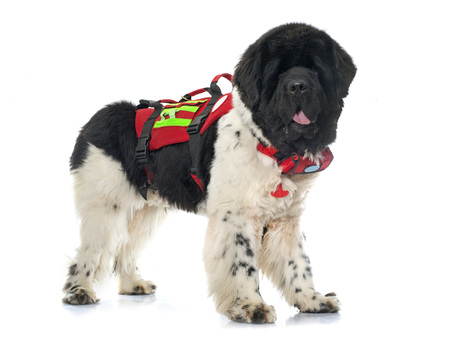 black and white newfoundland dog: rescue newfoundland dog in front of white background