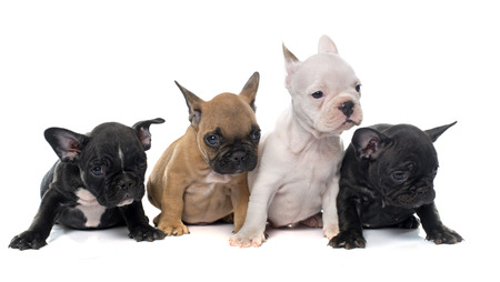 french bulldog: puppies french bulldog in front of white background