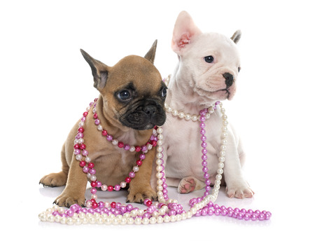 jewelries: puppies french bulldog in front of white background