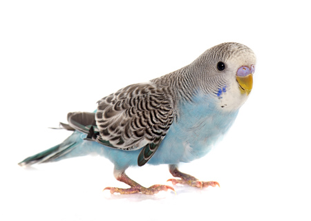 common pet parakeet in front of white background Standard-Bild