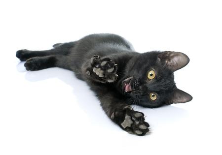 kitten: playing black kitten in front of white background
