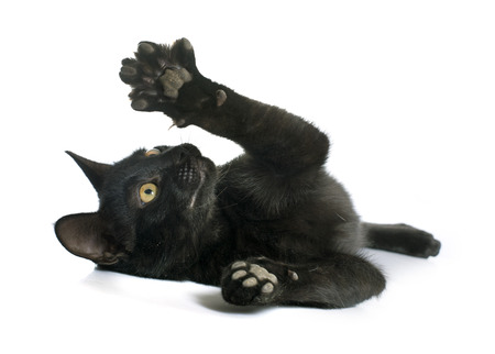 white cat: playing black kitten in front of white background
