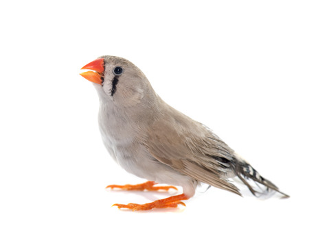 finch: Zebra finch in front of white background Stock Photo