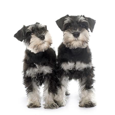 schnauzer: puppies miniature schnauzer in front of white background