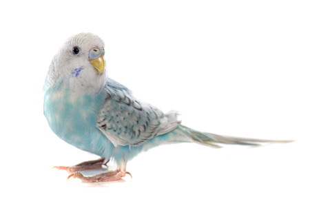 common pet parakeet in front of white background Stock Photo