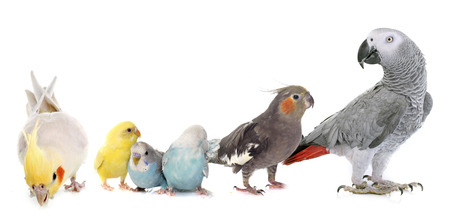 six: common pet parakeet, African Grey Parrot and Cockatielin front of white background