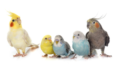 common pet parakeet and Cockatielin front of white background Standard-Bild