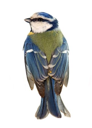 cyanistes: Eurasian blue tit in front of white background Stock Photo