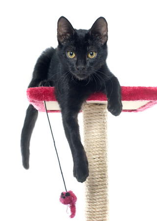 scratching: black kitten playing on a scratching post
