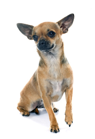 pedigreed: purebred chihuahua in front of white background Stock Photo