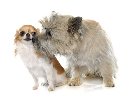 male animal: purebred cairn terrier and chihuahua in front of white background Stock Photo