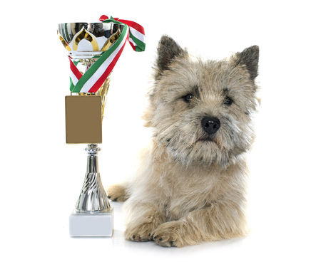 cairn: winner cairn terrier in front of white background