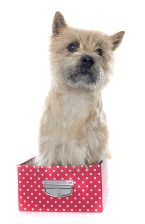 purebred: purebred cairn terrier in front of white background