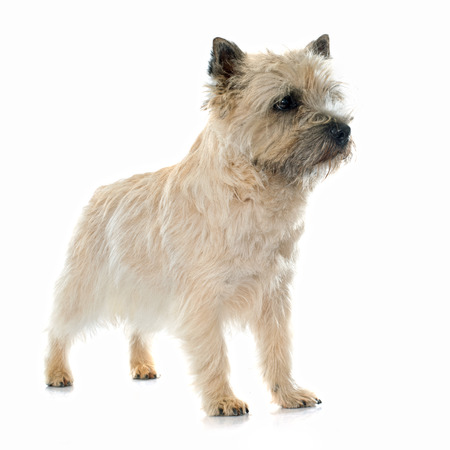 cairn: purebred cairn terrier in front of white background