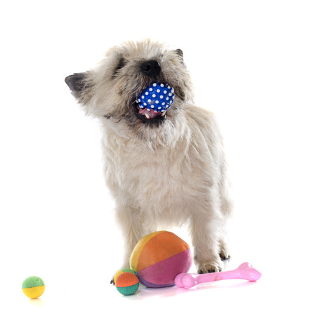adult bones: purebred cairn terrier in front of white background