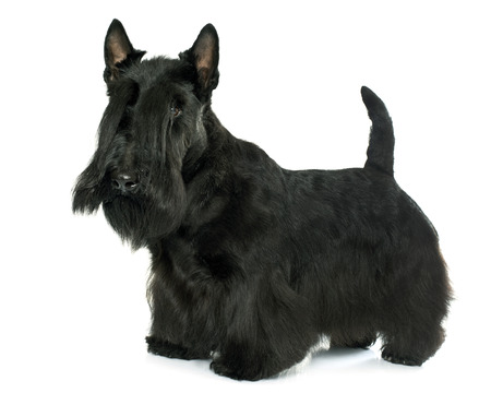 purebred scottish terrier in front of white background Stock Photo