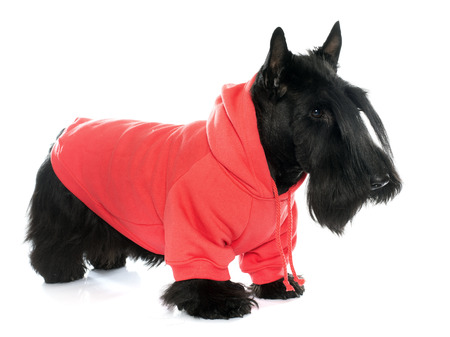 black dog: dressed scotish terrier in front of white background