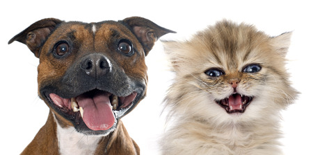 smiling cat: stafforshire bull terrierand persian kitten in front of white background