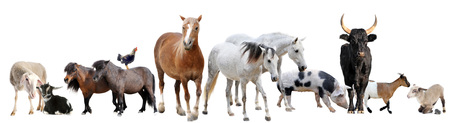 draught horse: farm animals in front of white background