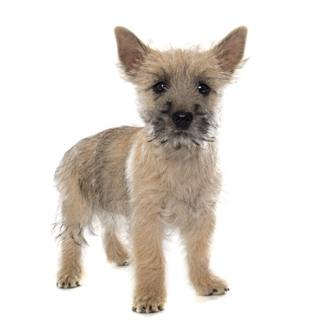 cairn: puppy cairn terrier in front of white background
