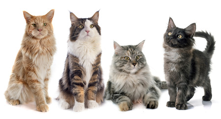 white cats: portrait of four purebred  maine coon cats on a white background