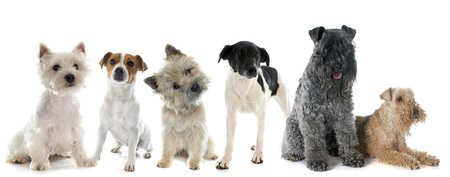 kerry blue terrier: group of terrier in front of white background