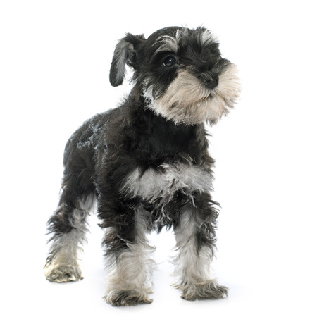 puppy miniature schnauzer in front of white background Stock Photo