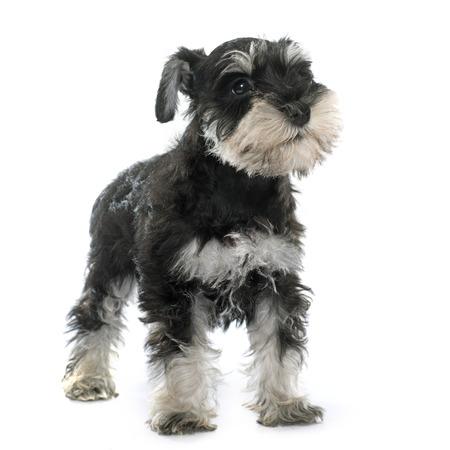 puppy miniatuurschnauzer voor witte achtergrond Stockfoto