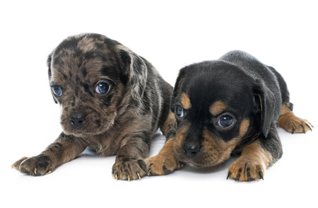 short hair dog: young puppies chihuahua in front of white background