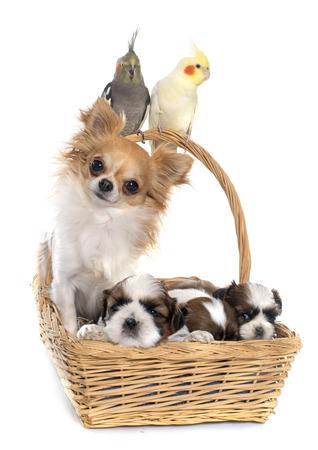 Trois calopsitte et le chien en face de fond blanc Banque d'images - 49592116